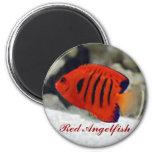 Pegatina rojo del Angelfish Imanes
