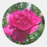 Pegatina rosado brillante de la flor del Peony