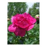 Pegatina rosado brillante de la flor del Peony Tarjetas Postales