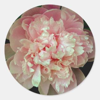 Pegatina rosado del Peony