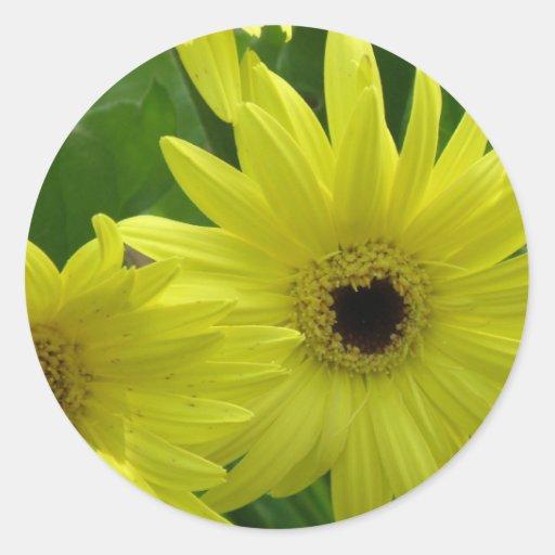 Pegatinas amarillos del festival de la margarita pegatinas redondas