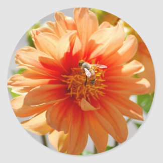 Pegatinas anaranjados Sunlit de la dalia Pegatinas Redondas
