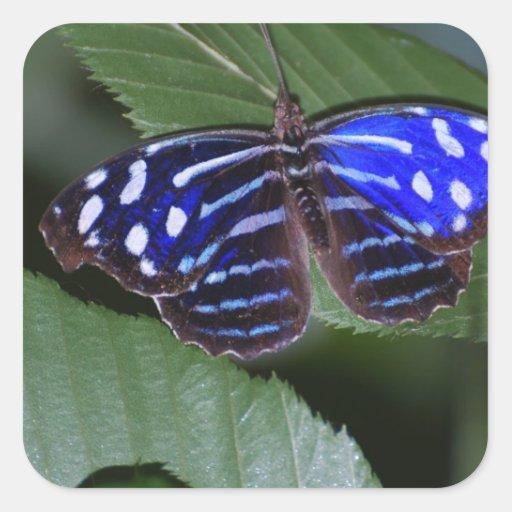 Pegatinas azules y blancos de la mariposa calcomanías cuadradass