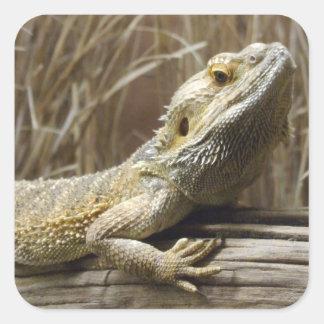 Pegatinas barbudos del reptil del dragón calcomania cuadradas