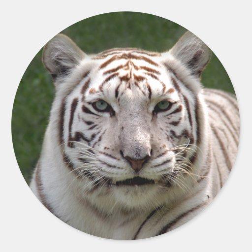 Pegatinas blancos del tigre pegatina redonda
