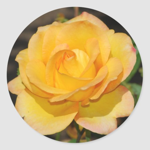 Pegatinas color de rosa gloriosos etiqueta redonda
