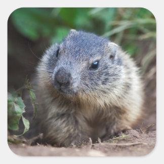 Pegatinas curiosos de la marmota del bebé pegatina cuadrada