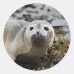 Pegatinas de cría de foca pegatinas redondas