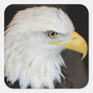 Pegatinas de Eagle calvo Pegatina Cuadrada