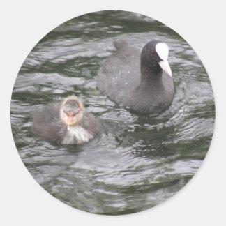 Pegatinas de la focha y del polluelo etiqueta redonda