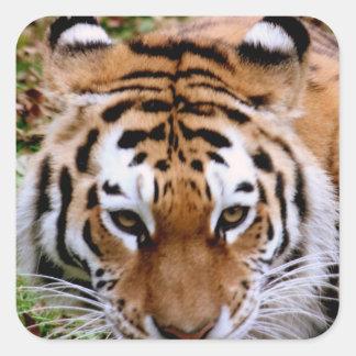 Pegatinas de las marcas del tigre pegatina cuadrada