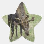 Pegatinas de los alces de Bull Colcomanias Forma De Estrella