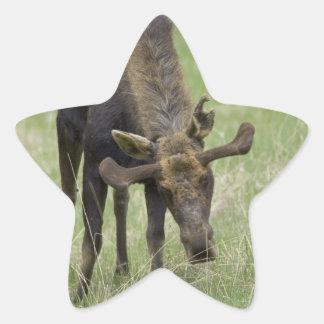 Pegatinas de los alces de Bull Pegatina En Forma De Estrella