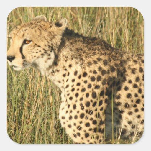 Pegatinas de vagabundeo del guepardo pegatina cuadrada