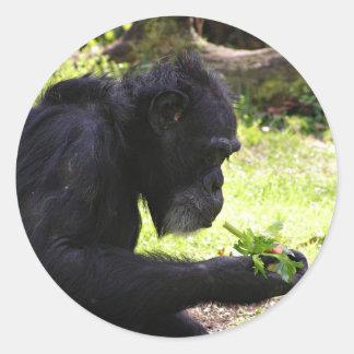 Pegatinas del chimpancé del viejo hombre etiquetas redondas