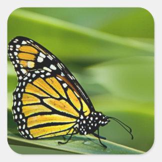 Pegatinas del diseño de la mariposa de monarca pegatina cuadrada