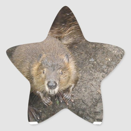 Pegatinas del diseño del castor pegatina en forma de estrella