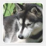 Pegatinas del husky siberiano calcomanías cuadradass personalizadas