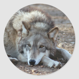 Pegatinas del lobo gris de los lobos pegatina redonda