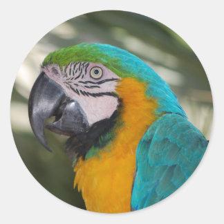 Pegatinas del loro del Macaw del azul y del oro Pegatina Redonda