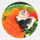 Pegatinas del Macaw del escarlata Etiquetas Redondas