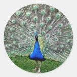 Pegatinas del penacho del pavo real etiquetas redondas