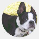 Pegatinas del perrito de Boston Terrier Pegatinas Redondas