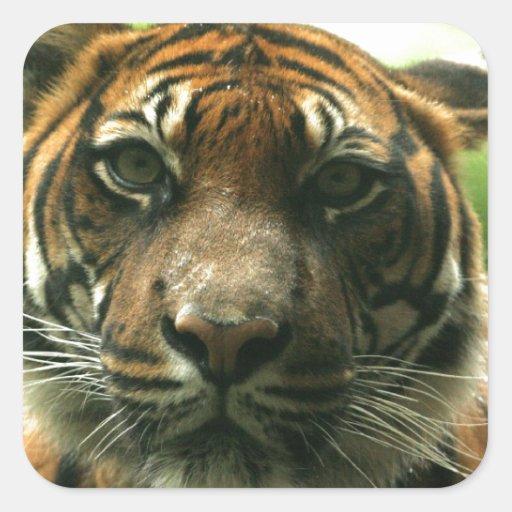 Pegatinas del tigre pegatina cuadrada