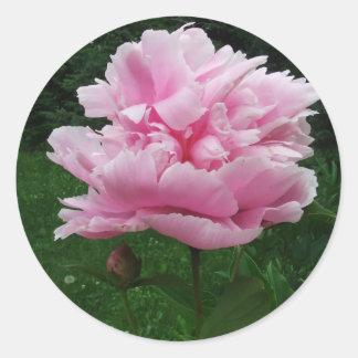 Pegatinas redondos del Peony rosado