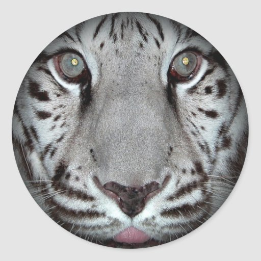 Pegatinas redondos del tigre blanco etiqueta redonda