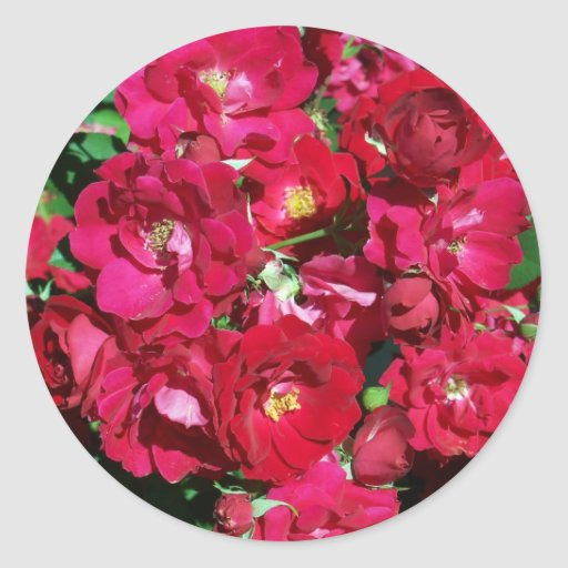 Pegatinas rojos de Bush color de rosa Pegatina Redonda