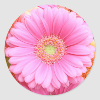 Pegatinas rosados de la margarita de Gerber Pegatinas Redondas