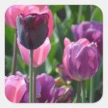 Pegatinas rosados y púrpuras del tulipán calcomania cuadradas