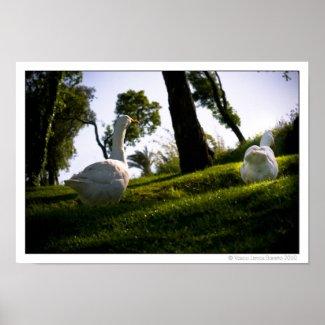 Pekin Duck 001 Print