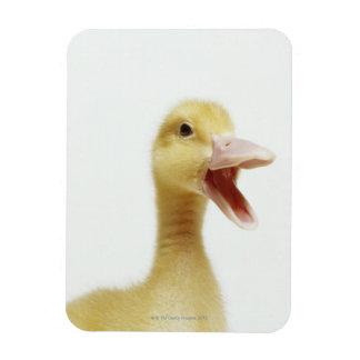 Pekin duck chick, head-shot rectangular magnet