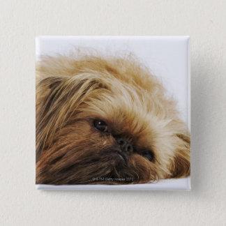 Pekingese dog, close up button