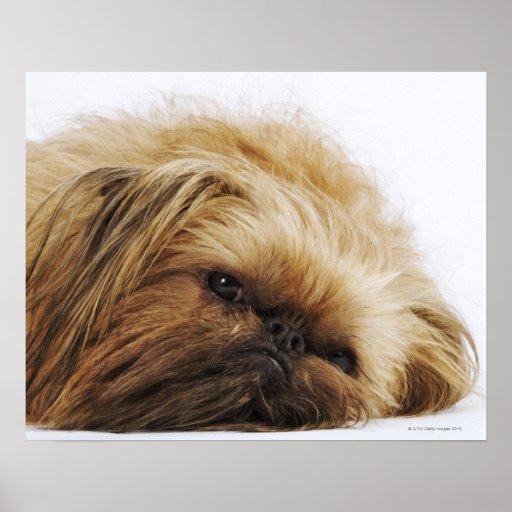 Pekingese dog, close up posters