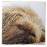 Pekingese dog, close up tiles