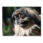 Pekingese dog post card