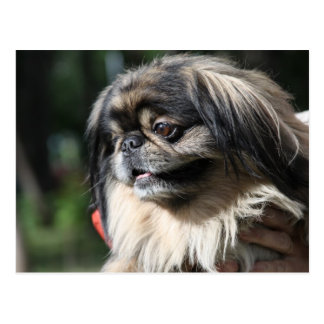 Pekingese dog postcard