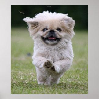 Pekingese dog poster, print, cute photo poster