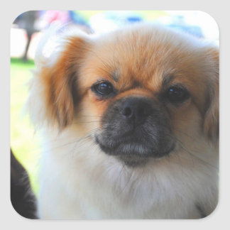 Pekingese Dog Stickers