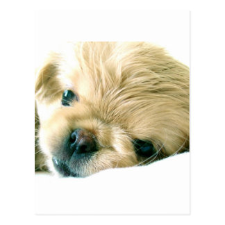 Pekingese Puppies Postcard