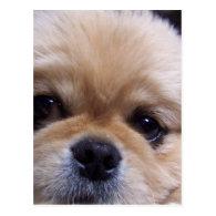 Pekingese Puppy Postcard