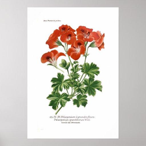 Pelargonium grandiflorum print