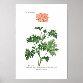 Pelargonium graveolens poster