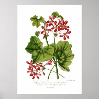 Pelargonium  hederaefolium poster