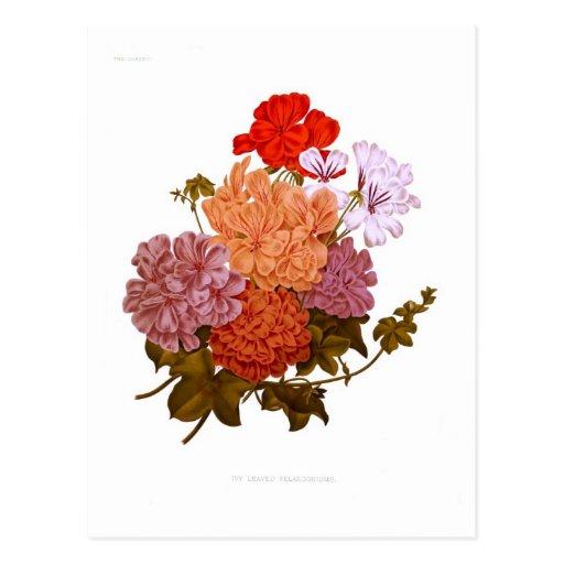 Pelargonium Hiedra-con hojas Postal