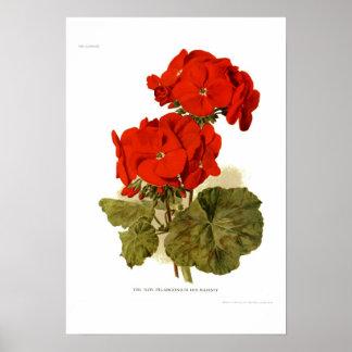 "Pelargonium 'His Majesty"" Poster"