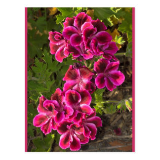 Pelargonium Postcard